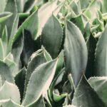 Aloe Vera: proprietà, benefici e usi